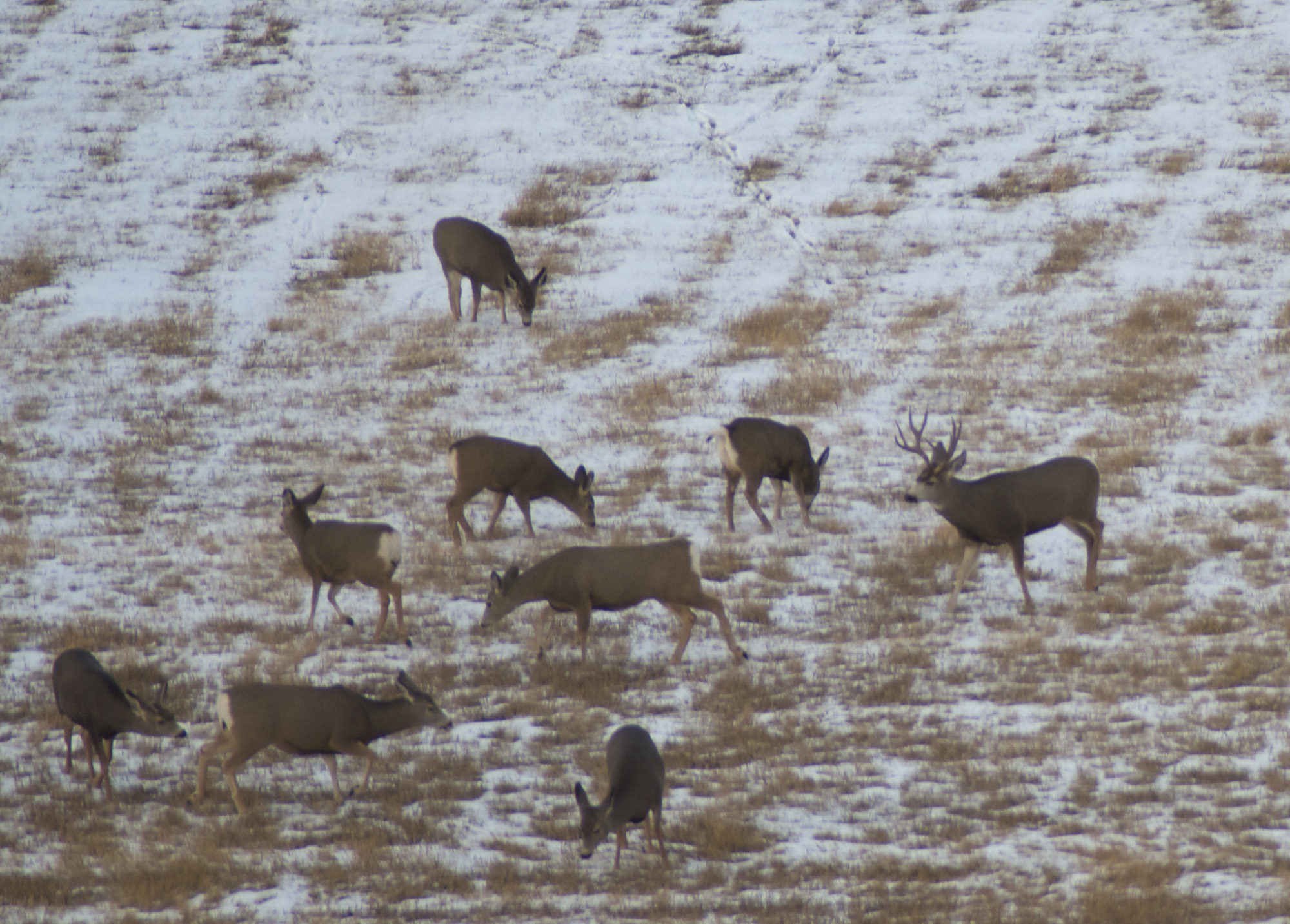 g Montana, MT, Montana Wild, deer, mule deer, whitetail, archery, elk, general season
