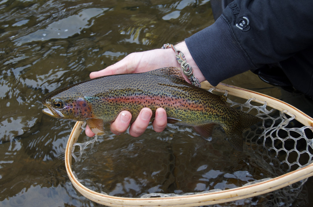 fly fishing, montana, montana wild, rock creek, rainbow trout, stonefly nymph, zack boughton, st. croix