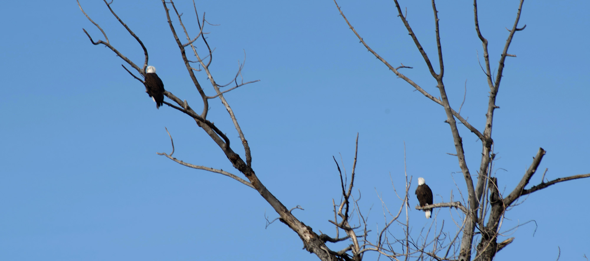bald eagles in montana, montana wild, montana bald eagles, fishing eagles