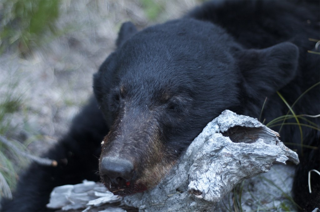 Montana Black Bear, Montana blazed black bear, Montana wild bear hunt