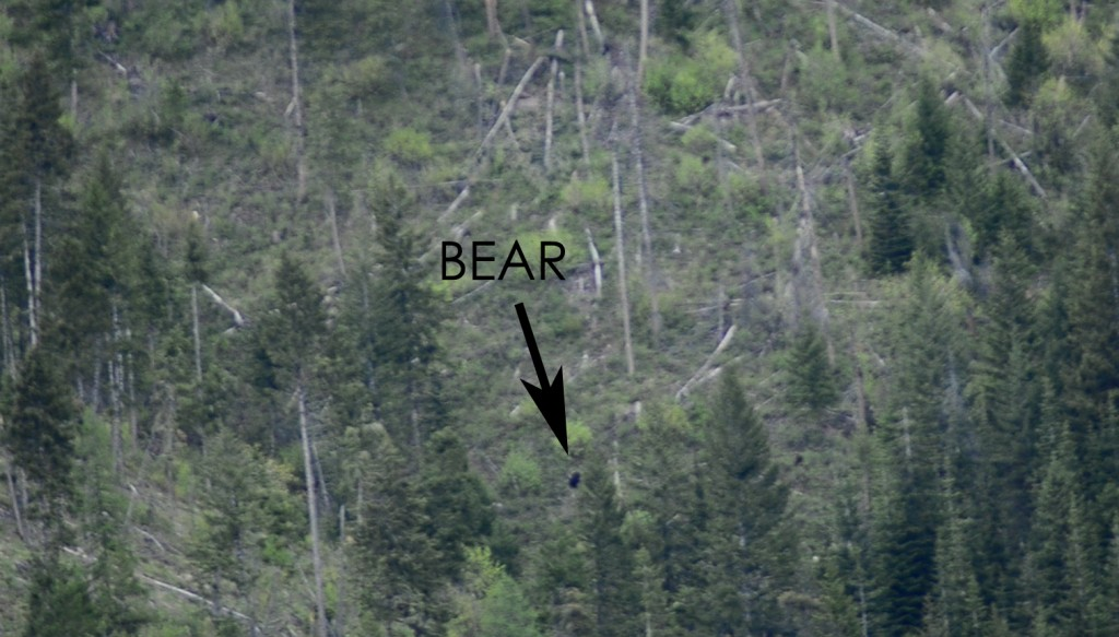 Bear in the distance
