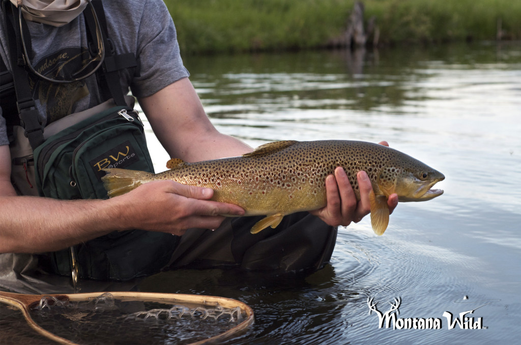 brown trout, bitteroot river, mt, montana wild, fly fishing, huge browns, green drake, dry flies, echo, nikon d7000