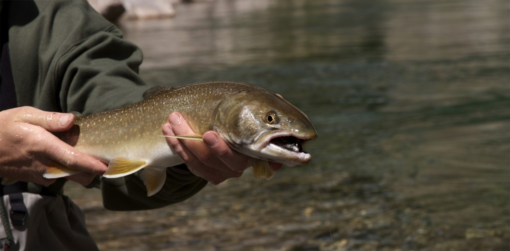bull trout, fly fishing, montana wild, streamers, videos, 8wt, huge, grizzly hackle, vortex, 2012