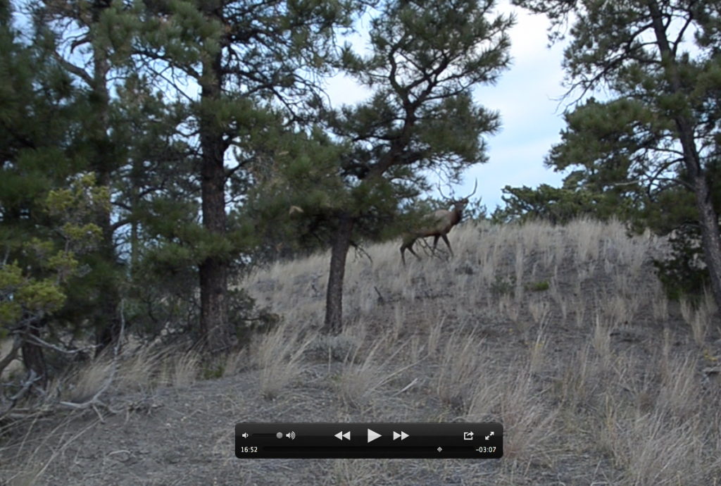 Close encounter with bull, elk hunting video