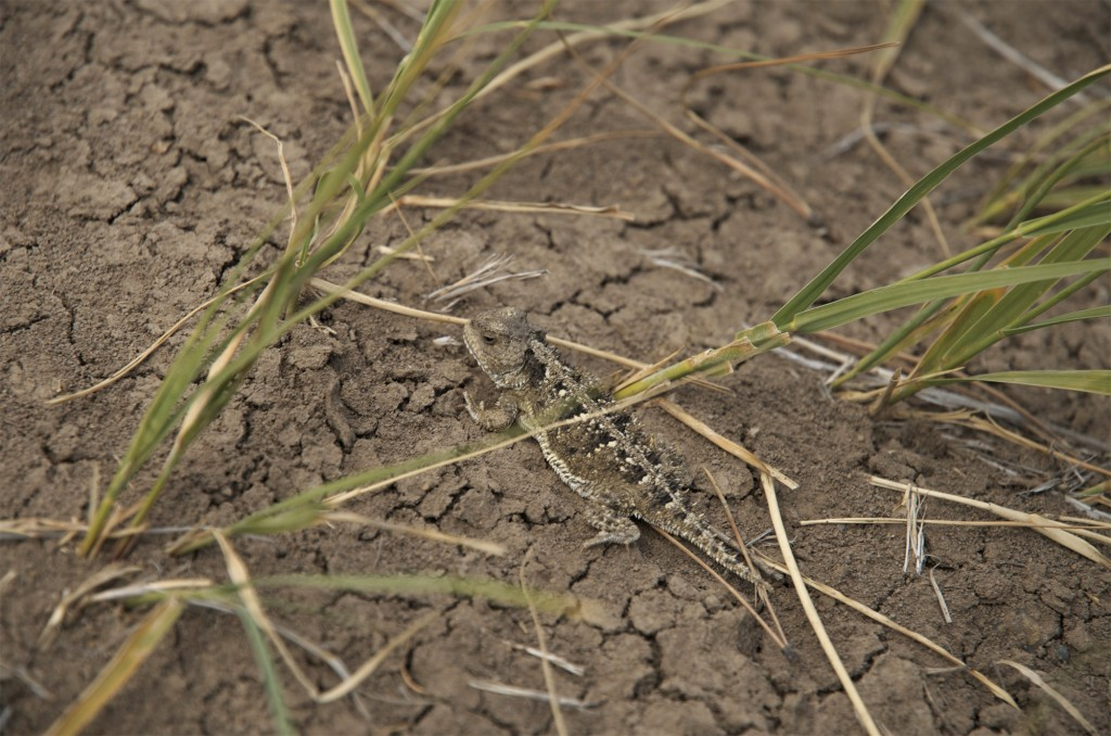 Montana Horny Toad, horney toad