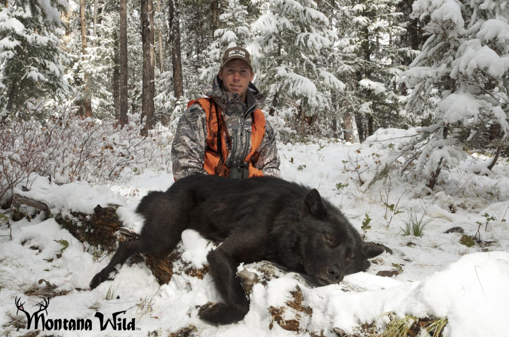 Montana Black wolf, wolf hunting montana, huge montana black wolf, legal wolf hunting, Montana wolf tag, Wolf hunting, amazing wolf photo, Montana Wild, best hunting video, sitka stormfront jacket, vortex optics