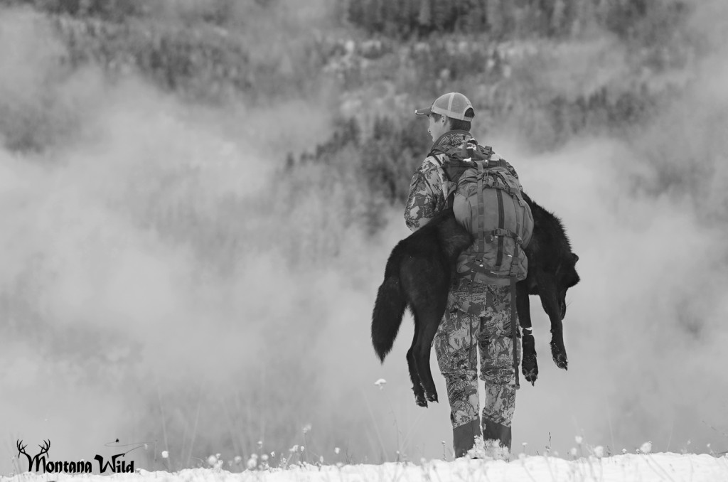 Montana Wolf Pack, Montana Black wolf, amazing black wolf, largest montana wolf killed, state record wolf, Montana Wild, best hunting videos