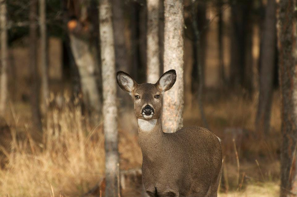 whitetail, doe, eyes, deer