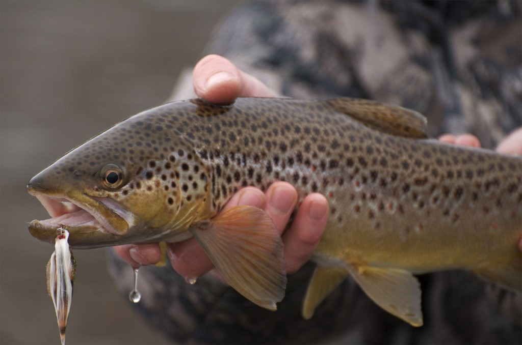 brown trout, montana, wild, winter, streamers, clark fork