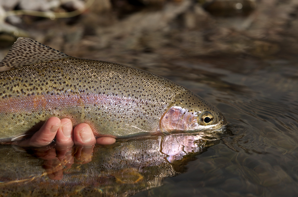 montana, wild, rainbow, trout, fly, fishing, missoula, mt