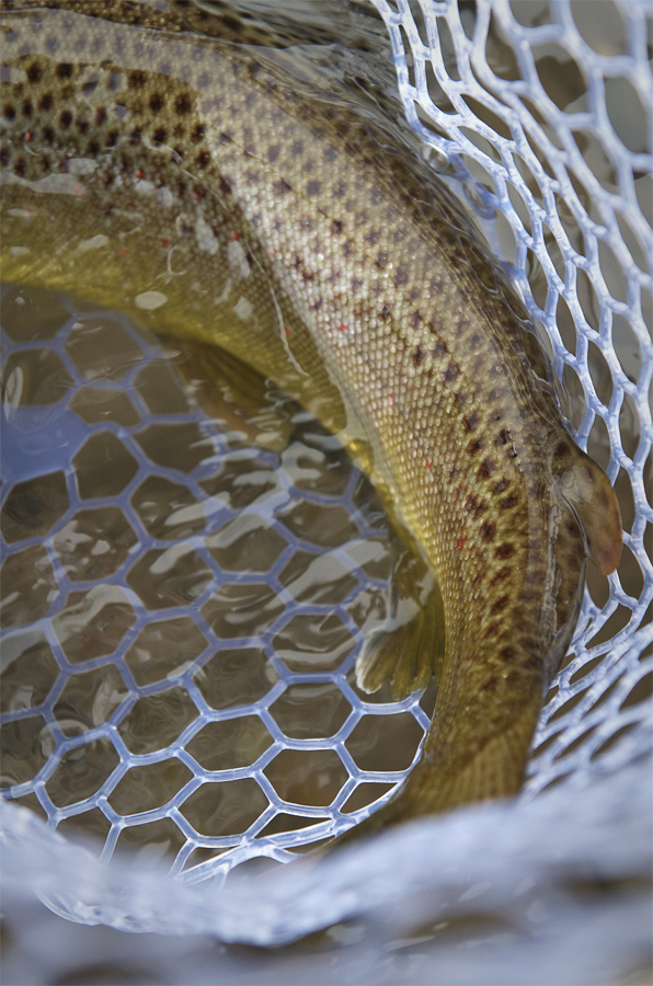 Adipose, brown, trout, net, water, photography