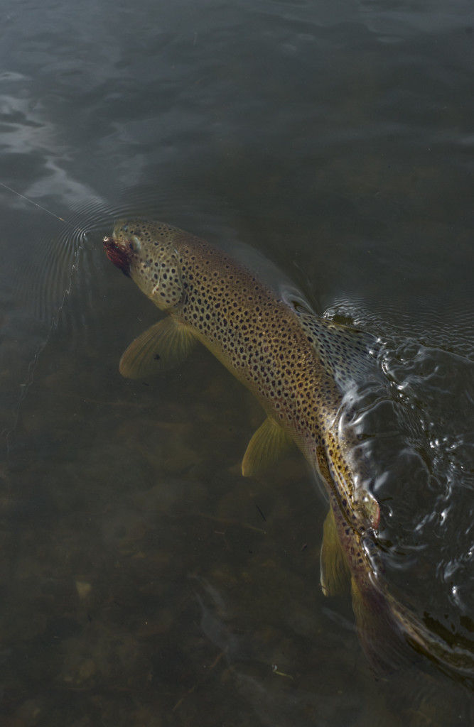 brown, trout, streamer, eat, water, photo, picture, montana