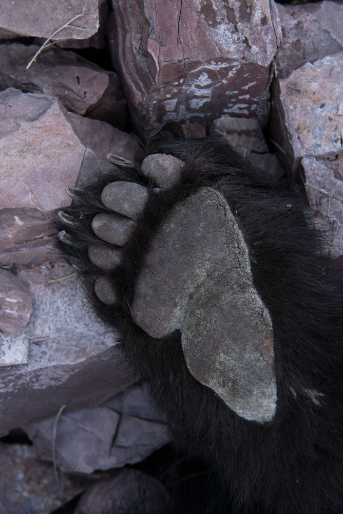 Bear, paw, black, montana, wild, spring, hunt, rifle