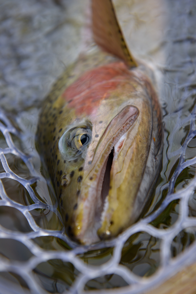 fly fishing, trout, montana, missoula, rainbow, fishing, montana wild, nikon, larkin works nets, orvis